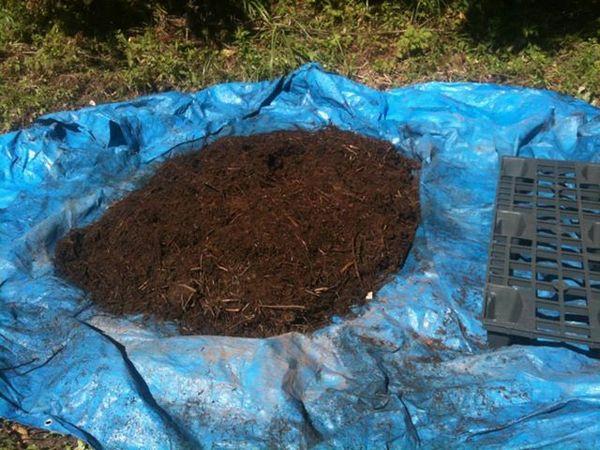 堆肥の中にカブトムシ幼虫